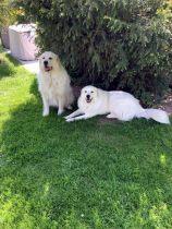 Pyrenäenberghunde Paul und Usamba im Juni 2020
