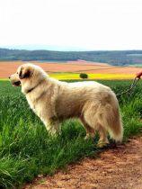 Pyrenäenberghund Undine im Mai 2020