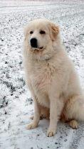 Pyrenäenberghund Unica im Januar 2019