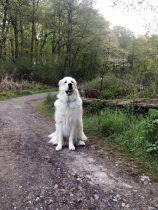 Pyrenäenberghund Ursus im Mai 2021