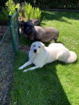 Pyrenäenberghund Usamba im Juni 2020