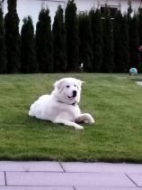 Pyrenäenberghund Vaiana im September 2020