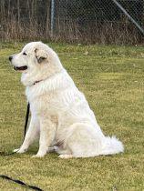 Pyrenäenberghund Vamos im Februar 2020