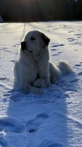 Pyrenäenberghund Vamos im Dezember 2020