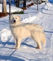 Pyrenäenberghund Vamos im Februar 2021