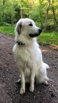 Pyrenäenberghund Velie im Juni 2020