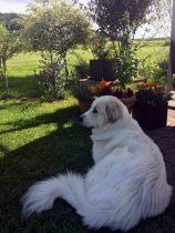 Pyrenäenberghund Velie im September 2020