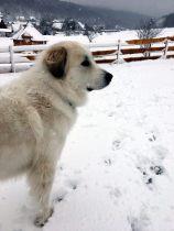 Pyrenäenberghund Velie im Januar 2021