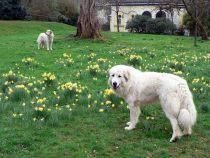 Pyrenäenberghunde Verdi und Raya im April 2020