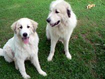 Pyrenäenberghunde Verdi und Wally im Juli 2021