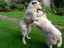 Pyrenäenberghunde Verdi und Wally im August 2021