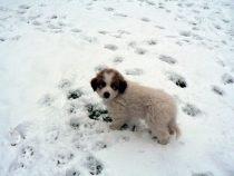 Pyrenäenberghund Waldi im Januar 2021