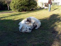Pyrenäenberghund Wally mit Verdi und Raya im Februar 2021
