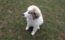 Pyrenäenberghund Wally im März 2021