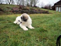 Pyrenäenberghund Wijou im Januar 2021