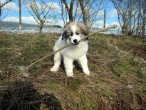 Pyrenäenberghund Wijou im Februar 2021