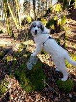 Pyrenäenberghund Wijou im März 2021