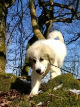 Pyrenäenberghund Wijou im April 2021