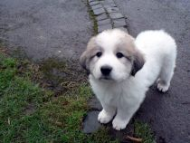 Pyrenäenberghund Wilma im Januar 2021