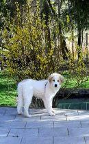 Pyrenäenberghund Wilma im April 2021