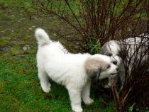 Pyrenäenberghund Wotan im Januar 2021