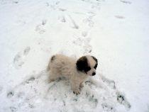 Pyrenäenberghund Wuna im Januar 2021
