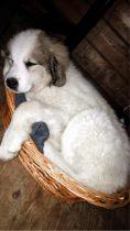 Pyrenäenberghund Wuna im März 2021